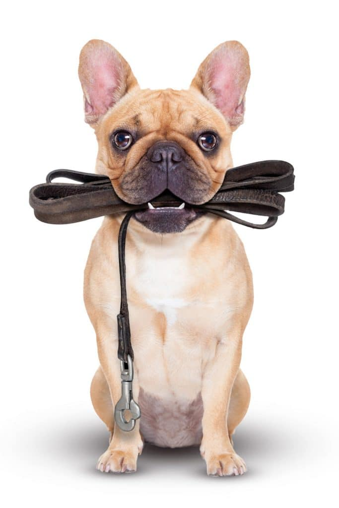 French bulldog holding a lead